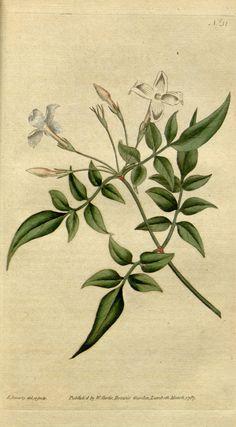 Jasminum officinale ~ by William Curtis
