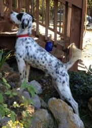 Beau is an adoptable English Setter Dog in San Antonio, TX.  Beau is a neutered, 1-2 year old boy. He is such a wonderful little guy with a very sweet disposition! He gets along great with other dogs ...
