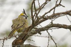 mis fotos de aves: Cardenal amarillo [Gubernatrix cristata] Yellow ca...