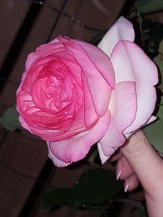 #Rosierblanc #PierredeRonsard #Rosierbicolore #Parfum #Rose #Eden #Edenclimber #Romantique #Deco #Jardin #Bouquet Plantation, Bouquet, Parfum Rose, Spring, Flowers, Plants, Deco, Amor, Hearts