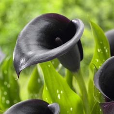 Calla lily night cap, most exotic of all callas