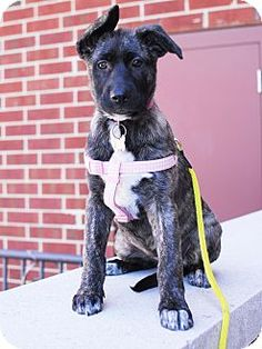 Detroit, MI - Rottweiler/Border Collie Mix. Meet Rosalie, a puppy for adoption. http://www.adoptapet.com/pet/11288822-detroit-michigan-rottweiler-mix