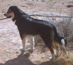 English Shepherd English Shepherd, Farm Dogs, Crazy Dog Lady, Livestock, Collie, Dogs And Puppies, Husky, Cute Animals, Pets