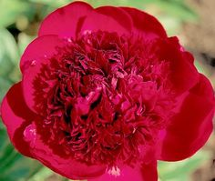 This classic is one of the finest reds ever introduced. A striking, deep red double with abundant ruffled petals, it is always a favorite of...