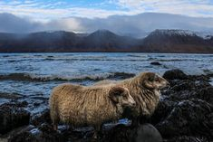 Sheep in the Westfjords, Iceland