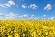 yellow rape flower field and blue sky - yellow rape flower field and blue sky, Groningen, Netherlands