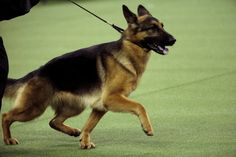 Rumor The German Shepherd Wins Best In Show At Westminster | The Huffington Post