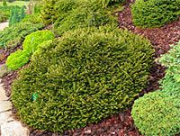 128 Best Picea Abies Images In 2016 Picea Abies Evergreen Trees