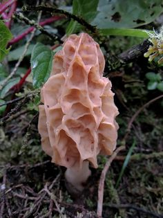 Beautiful Morel
