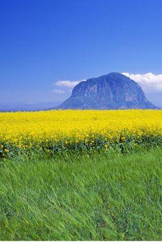 Flower fields underneath Sanbang Mountain on Jeju Island, South Korea
