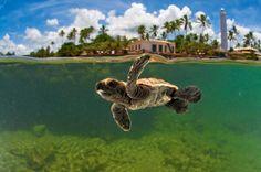 Um olhar sobre os imóveis na Praia do Forte, Bahia, Brasil. A look at real estate in Praia do Forte, Bahia, Brazil. That's Praia do Forte in the background behind the cute baby turtle. :)