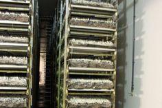 Champignons, een mooi puur Nederlands product, dat zonder rare bestrijdingsmiddelen of een lijstje enge E-nummers in een paar weken in de schappen ligt. Stairs, Home Decor, Mushroom, Stairway, Decoration Home, Room Decor, Staircases, Home Interior Design, Ladders