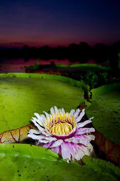 Giant Water Lily flower opening in the Pantanal, Brazil -- Paul Williams