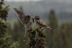 Northern Hawk Owl, by Sam Wilson.