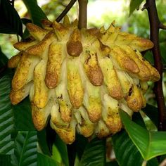 Unusual and Exotic Fruit and Nut Plant Seeds From Around the World Funky Fruit, Weird Fruit, Strange Fruit, Colorful Fruit, Tropical Fruits, Types Of Fruit, Fruit And Veg, Fruit Plants, Fruit Trees