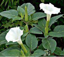 Indischer Stechapfel - Datura meteloides - 12 Samen