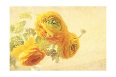 Ranunculus Flowers on Yellow Background Art Print at AllPosters.com