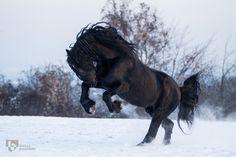 Horse / Friesen power (Bianca Lütje)