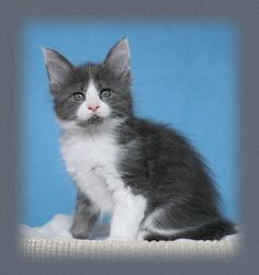 Maine Coon Blue Solid Amp White