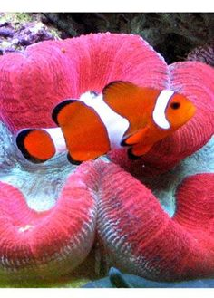 Clown fish and brain coral.