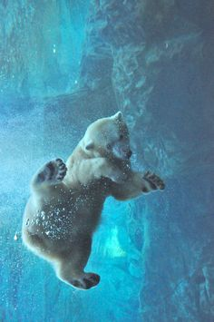 "earthandanimals: "" Polar Bear underwater by Christopher Drake """