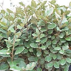 1000 images about evergreen shrubs on pinterest trachelospermum jasminoides strawberry tree. Black Bedroom Furniture Sets. Home Design Ideas