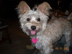 ROSIE in RENO, NEVADA is an adoptable Yorkshire Terrier Yorkie Dog in Chapmansboro, TN.  November, 2012. Meet Rosie. She weighs 12.4 pounds. She thinks she is a Yorkie, so don't tell her she isn't! We...