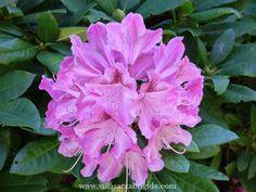 Rododendro  www.villasantabrigida.com