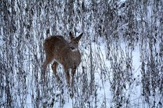 While late season hunting during the last weeks and days of deer season offer opportunities to fill the freezer, doing so may, in fact, jeopardize your future hunting success… Ice Fishing, Deer Hunting, Archery, Moose Art, Bows, Seasons, Outdoors, Freezer, Animals