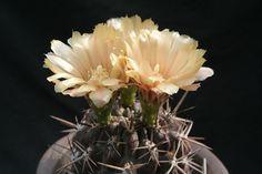Eriosyce curvispina 'odoriflora' FK4-77