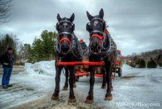 Percheron horses from Mother Fuduckers Farm in nearby Orillia, Ontario.