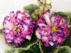 ЛЕ-Тристан, пасынок Пример цветения временно на фото из Интернета http://fialki-m.com/fialki/sorta-lebeckoj/