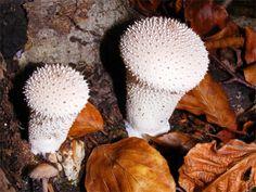 Common Puffball; Lycoperdon perlatum. Many Thanks to Paul Brooker for the photo.