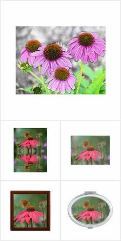 Pink Coneflower Dream Collection