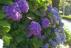 hortência lilás