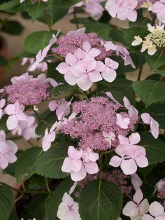 Diva (Hydrangea macrophylla 'SMHMLDD') is a reblooming lacecap with large florets ringing flower heads as big as dinner plates on a diminutive shrub. Starting in mid-July, bright pink (or blue) flowers emerge, then lighten in color toward the tips. Looks especially dramatic in containers. Grows up to 3 feet high and wide. Zones 5-9; Proven Winners.