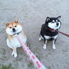Many people first became familiar with the Shiba Inu from that 'Doge' meme that was everywhere for a while (very Shiba, much soft. Wow), but these lovable, Animals And Pets, Baby Animals, Funny Animals, Cute Animals, Funny Animal Photos, Cute Puppies, Cute Dogs, Dogs And Puppies, Corgi Puppies