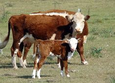 Hereford Beef, Hereford Cattle, Kansas Chiefs, Beef Cattle, Livestock, Puma, Mayo, Farm Life, Templates