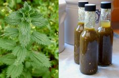 """Stinging Nettle """"Tabasco"""". Basically a hot sauce made with Nettles. It tastes a bit like """"Tabasco"""" with a definite Nettles taste. I'm playing around with making hot sauces with wild ingredients. More to come!"""