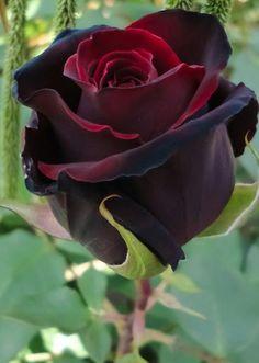Heirloom Rose. www.kerlagons.com