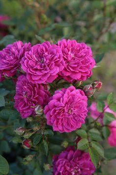 """Purple Rain™ Vigorosa® Shrub Rose - Disease Resistant - 4"""""""" Pot -Fragrant Flowers"""