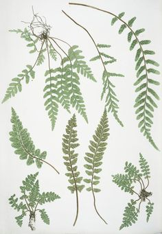 The ferns of Great Britain and Ireland - Henry Riley Bradbury (Illustrator) - 1857 - via NYPL