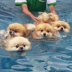 So much trepidation -- the annual Swimming of the Poms