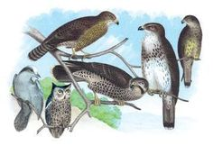 Owls, Buzzards, and Peregrine Falcon 20x30 poster