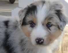 sweet blue merle aussie pup
