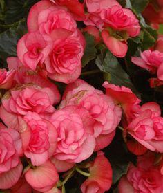 Kukkainfo > Tietoa kukista > Kasvit A–Ö - ruusubegonia