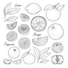 set of vector citrus fruits: lemon orange tangerine. hand drawn collection for design isolated on white. black lines sketch Mini Tattoos, Black Tattoos, Small Tattoos, Dancing Drawings, Art Drawings, Piercing Tattoo, Piercings, Lemon Drawing, Fruit Tattoo