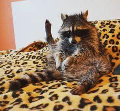 Baby Raccoon, Cute Raccoon, Racoon, Animals And Pets, Cute Animals, Billy The Kids, Funny Pictures, Cats, Funny Raccoons