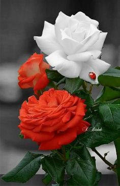 Red Rose with white Rose Beautiful Rose Flowers, Amazing Flowers, Pretty Flowers, Orange Roses, White Roses, Red Roses, Rose Of Sharon, Arte Floral, Flower Pictures