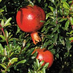 Dwarf Pomegranate - apparently the fruits are two inches and edible, but supposedly better as an ornamental. But who would want to have pomegranates you don't eat? Dwarf Fruit Trees, Growing Fruit Trees, Growing Greens, Pomegranate Growing, Pomegranate Seeds, Container Plants, Container Gardening, Citrus Trees, Small Leaf